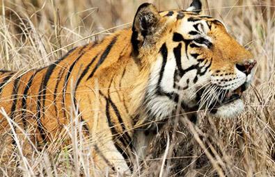 tiger-panna-national-park-s