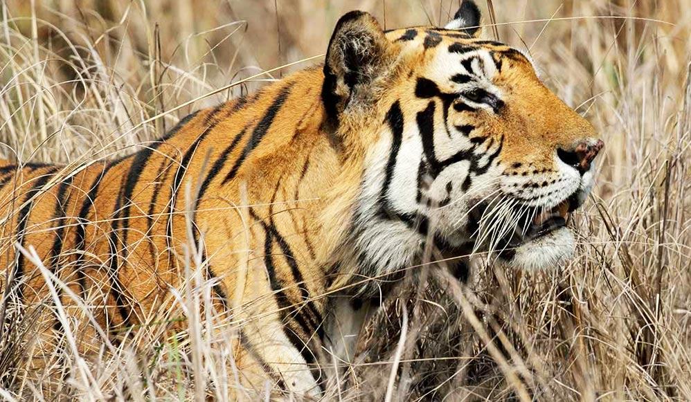 tiger-panna-national-park